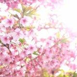 満開の桜を楽しめるのは1週間程度のカワヅザクラ(河津桜)