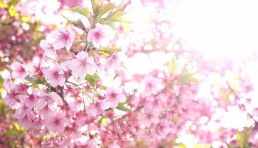 河津桜の見頃はいつなの?もともとの名前は◯◯桜だったってホント!?