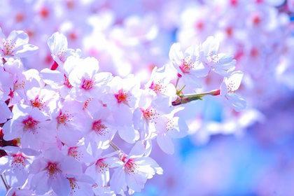 子供の春を感じる名前で一番人気がある桜