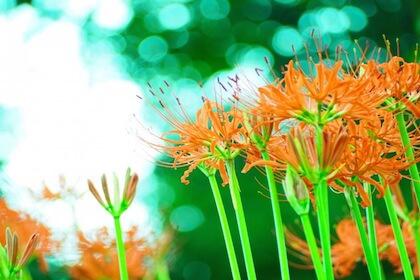 死人花の別名を持つ彼岸花