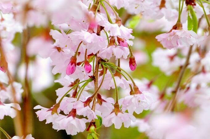 染井吉野と同じときに開花するシダレザクラ