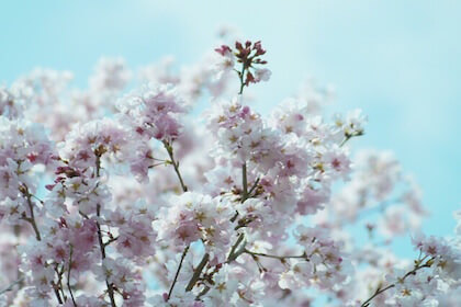 3月の彼岸のころに咲く江戸彼岸(エドヒガン)