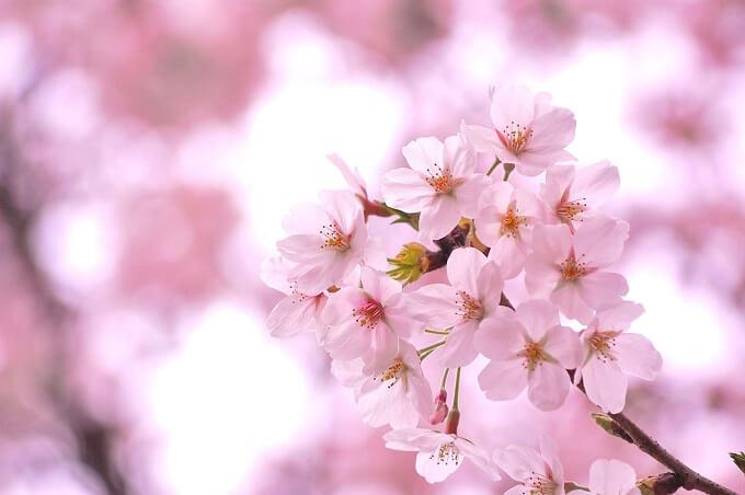 4月下旬まで楽しめる八重桜