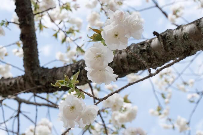 白い桜が咲く品種のひとつ白妙