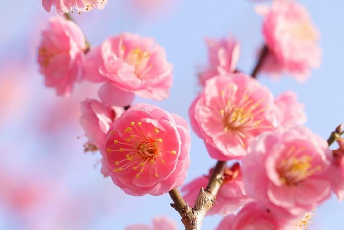 花柄がなく枝にくっついて咲くことが特徴の梅