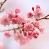300種類も品種がある日本の桜