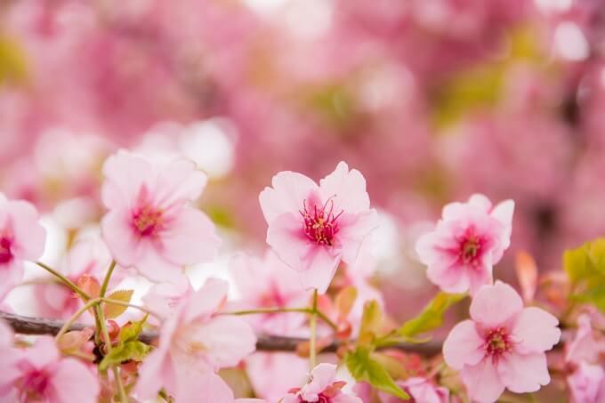 濃紅色の花が咲く河津桜