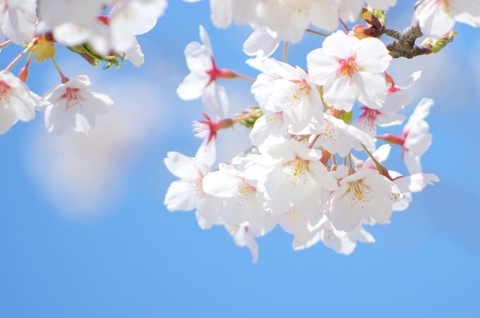 淡紅色(桜色)の花が咲く染井吉野
