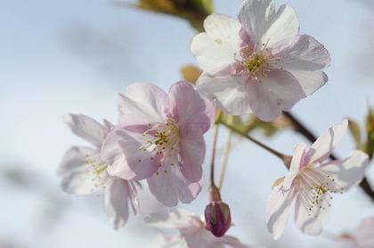 古来桜と和歌にも詠まれる山桜
