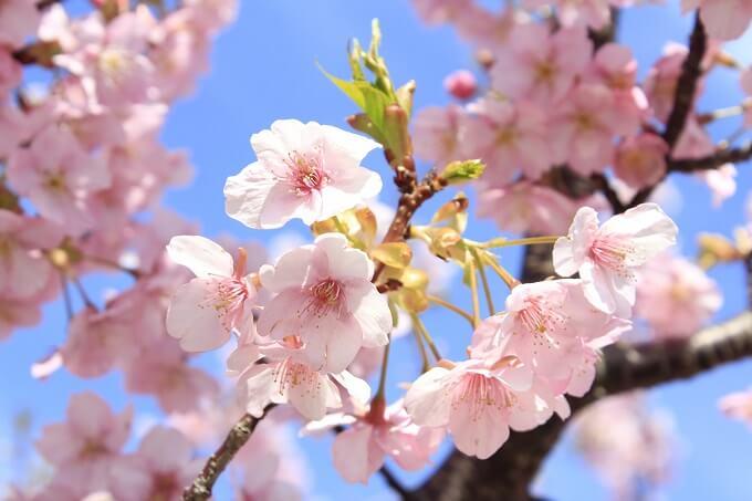 存分に楽しめる河津桜