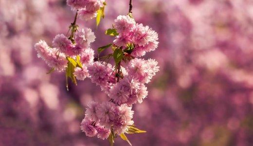 桜は開花してから散るまで何日くらいなの?品種によって楽しむ期間は違う?