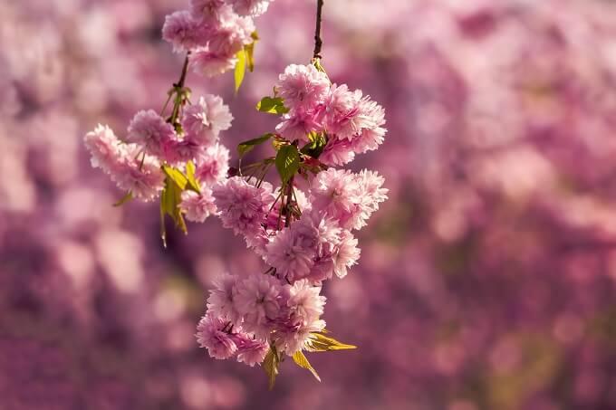 楽しむ期間が異なる桜