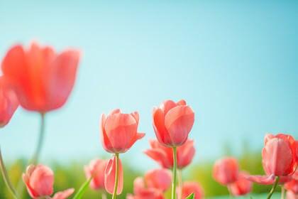 3月に咲くチューリップの花