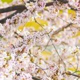 白い桜はピンクの桜と品種が違う