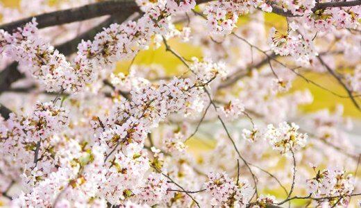 ピンクの桜の種類といえば?白い桜とピンクの桜は品種が違うの?