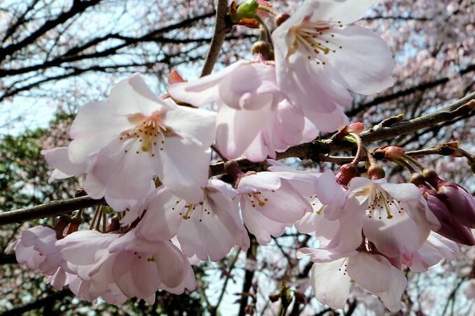染井吉野の前に咲くエドヒガンザクラ