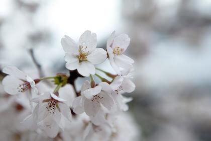 桜は種類によって花言葉が違う?有名な品種の花言葉を知りたいあなたに