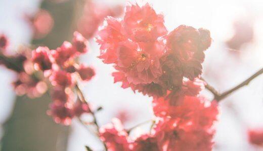桜と梅の違いは?見分け方は簡単!3つのポイントをおさえるだけ!?