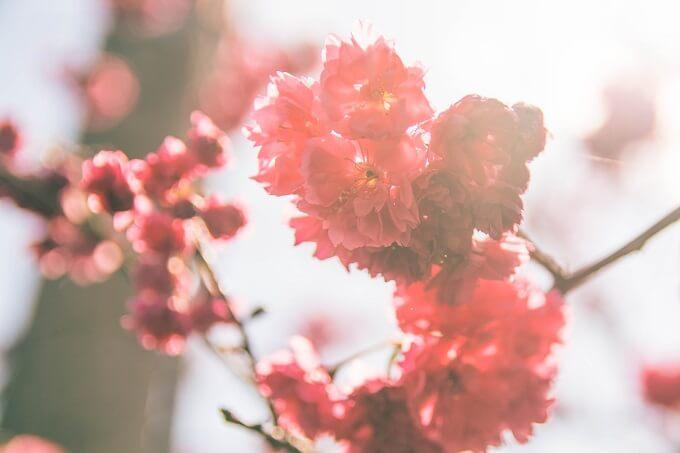 梅と見分け方がむずかしい桜