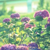 梅雨という名前の由来 「梅」という字は日本古来からの美意識の表れ!?