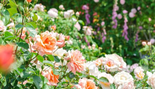 夏から秋まで咲く花は?ガーデニングで楽しめる多年草、宿根草を紹介!と一年草との違いもお教えします!